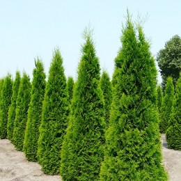 Thuja Occidentalis Smaragd Witbond 30 cm