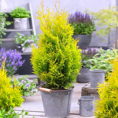 Thuja Occidentalis Sunny Smaragd - Conifere - AgroDenmar.ro