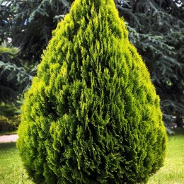 Thuja orientalis Aurea Nana - Conifere - AgroDenmar.ro