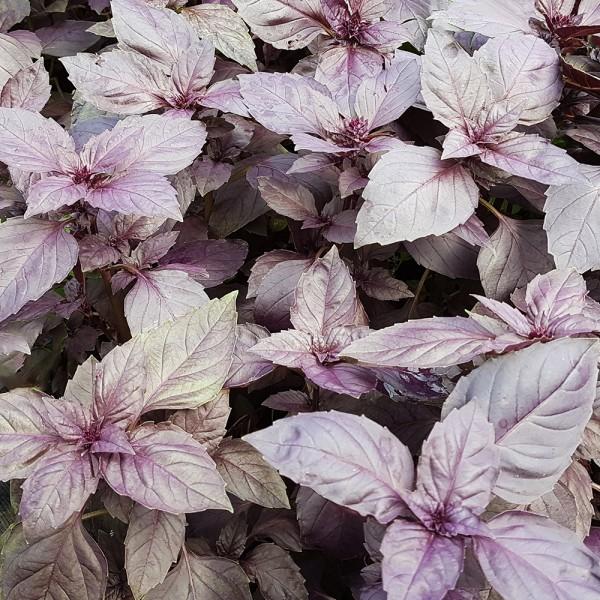 Busuioc rosu - Plante aromatice - AgroDenmar.ro