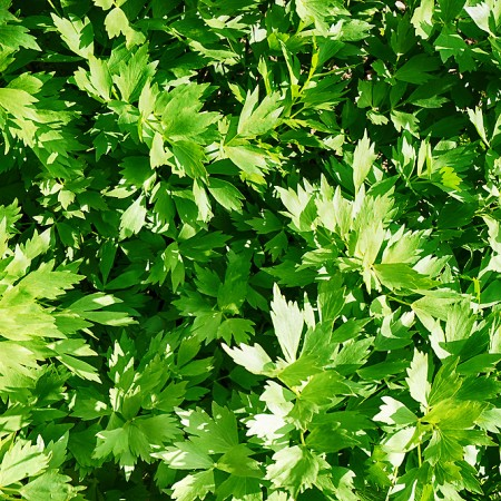 Leustean - Plante aromatice - AgroDenmar.ro