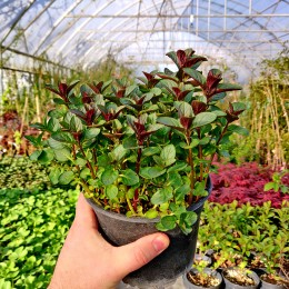Menta Ciocolata (Mentha piperita Chocolate) - Plante aromatice - AgroDenmar.ro