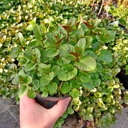 Menta Orange (aroma de portocale) - Plante aromatice - AgroDenmar.ro