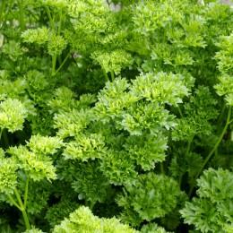 Patrunjel cret - Plante aromatice - AgroDenmar.ro