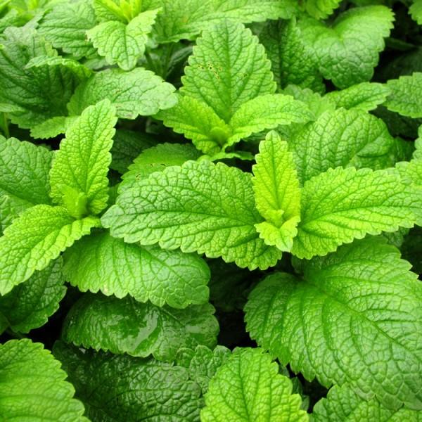 Roinita - Plante aromatice - AgroDenmar.ro