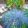 Festuca glauca (Iarbă albastră) Elijah Blue