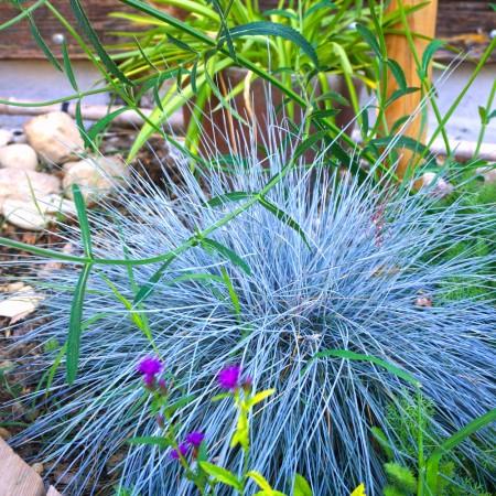 Festuca glauca (Iarbă albastră) Elijah Blue - Plante ornamentale - AgroDenmar.ro