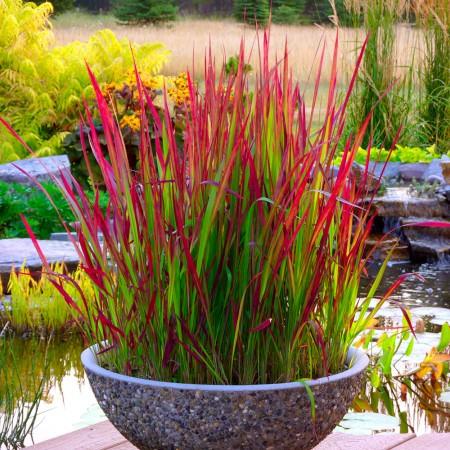 Imperata cylindrica Red Baron - Plante ornamentale - AgroDenmar.ro