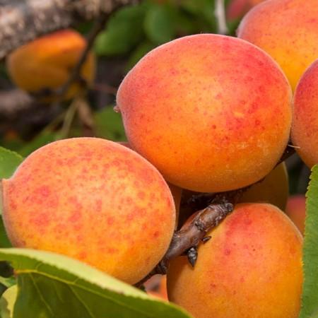 Cais Bergeron - Pomi fructiferi - AgroDenmar.ro