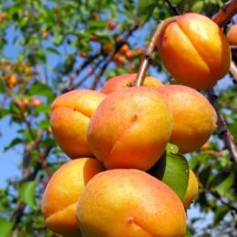 Cais Carmela - Pomi fructiferi - AgroDenmar.ro