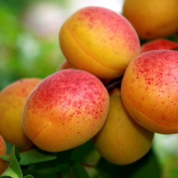 Pomi fructiferi - Cais Cea mai buna de Ungaria (NJA)