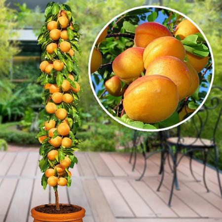 Cais columnar - Pomi fructiferi - AgroDenmar.ro