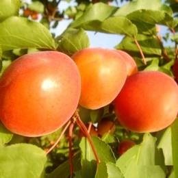 Cais Kyoto - Pomi fructiferi - AgroDenmar.ro