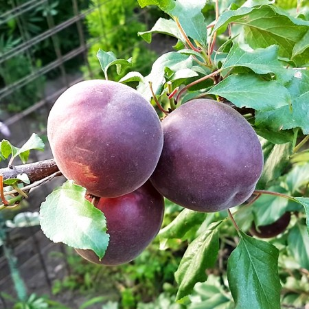 Cais Negru - Pomi fructiferi - AgroDenmar.ro