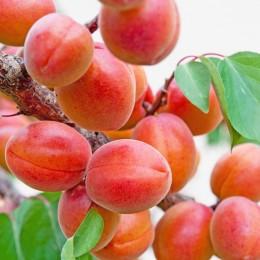 Cais NJA 19 - Pomi fructiferi - AgroDenmar.ro
