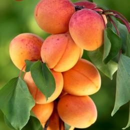 Cais Pannonia - Pomi fructiferi - AgroDenmar.ro