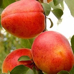 Cais Sirena - Pomi fructiferi - AgroDenmar.ro