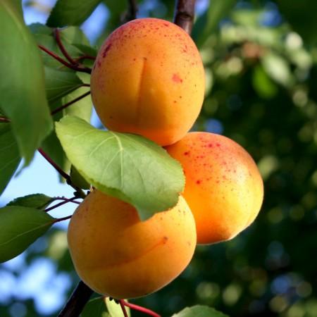 Cais Sulmona - Pomi fructiferi - AgroDenmar.ro