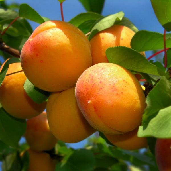 Pomi fructiferi - Cais Uriasa de Cegled