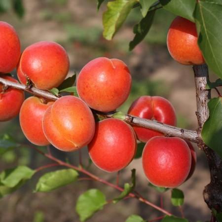 Cais Viorica - Pomi fructiferi - AgroDenmar.ro