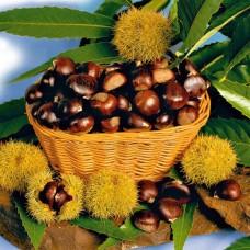 Castan comestibil - in Ghiveci