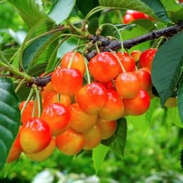 Cires amar Galata - Pomi fructiferi - AgroDenmar.ro