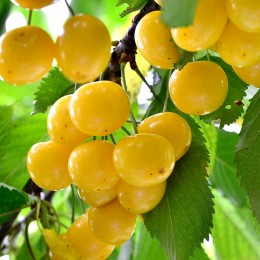 Cires Bigarreau Donissen - Pomi fructiferi - AgroDenmar.ro