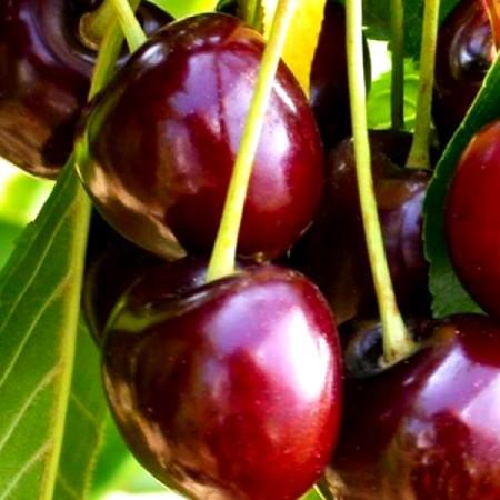 Cires Biggareau Burlat - Pomi fructiferi - AgroDenmar.ro