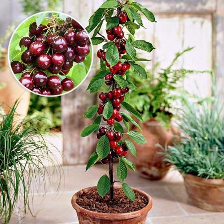 Cires columnar - Pomi fructiferi - AgroDenmar.ro