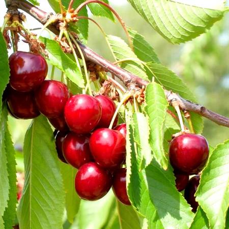 Cires Hedelfinger - Pomi fructiferi - AgroDenmar.ro