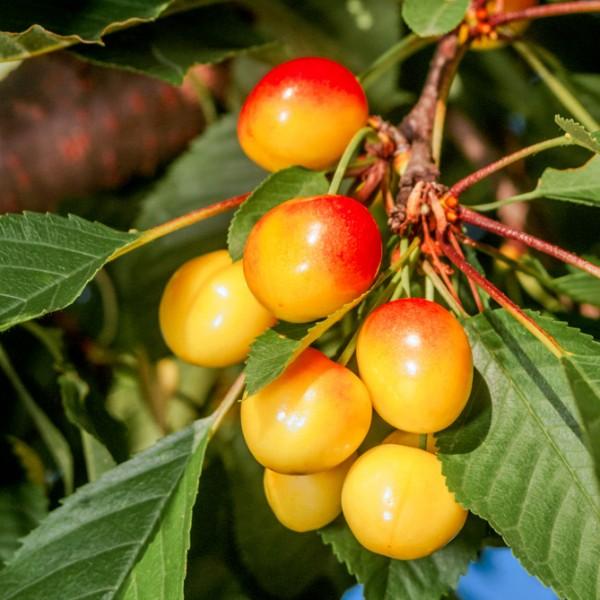 Cires Kunzego - Pomi fructiferi - AgroDenmar.ro