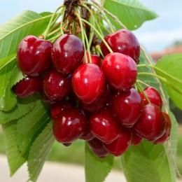 Cires Merchant - Pomi fructiferi - AgroDenmar.ro