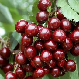 Cires Stella - Pomi fructiferi - AgroDenmar.ro