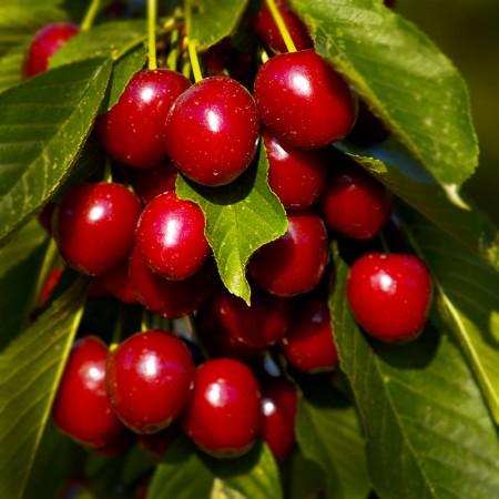 Cires Van - Pomi fructiferi - AgroDenmar.ro