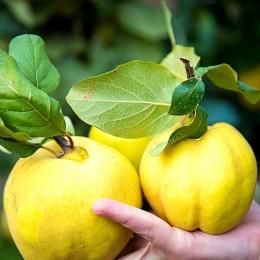 Gutui Aurii - Pomi fructiferi - AgroDenmar.ro