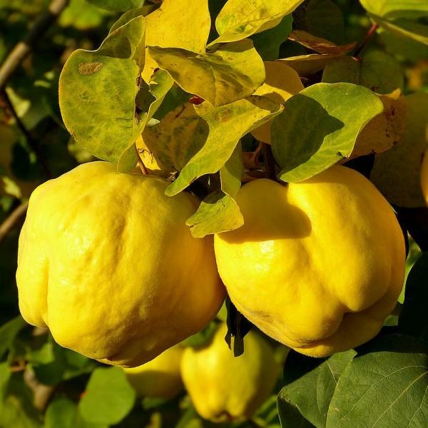 Gutui Bereczki - Pomi fructiferi - AgroDenmar.ro