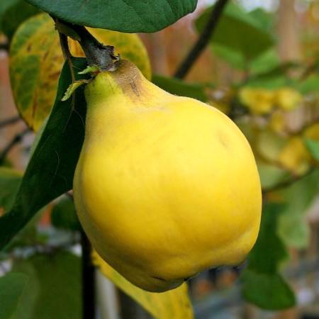 Gutui de Constantinopol - Pomi fructiferi - AgroDenmar.ro