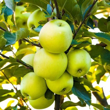 Mar Clar Alb - Pomi fructiferi - AgroDenmar.ro