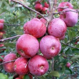 Mar Florina - Pomi fructiferi - AgroDenmar.ro