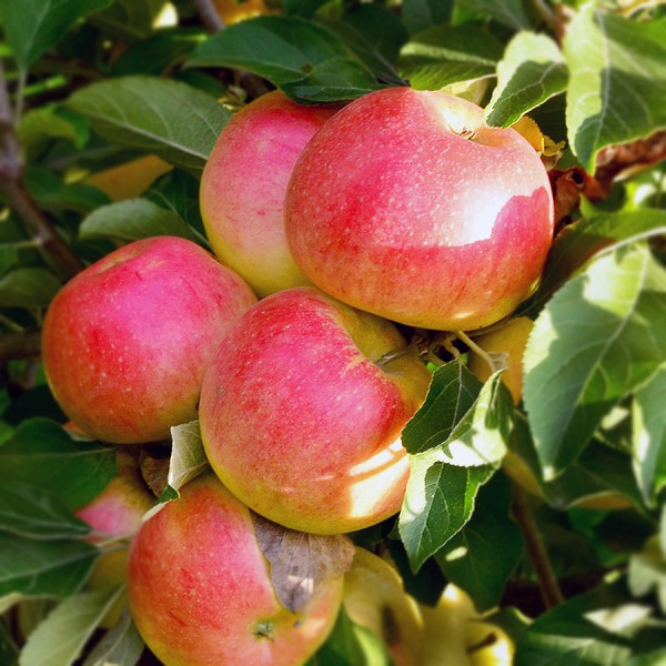 Pomi fructiferi - Mar Generos