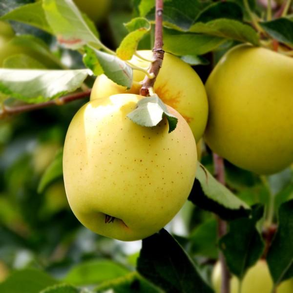 Mar Golden Delicious - Pomi fructiferi - AgroDenmar.ro