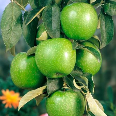 Mar Granny Smith - Pomi fructiferi - AgroDenmar.ro