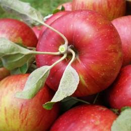 Mar Jonathan - Pomi fructiferi - AgroDenmar.ro