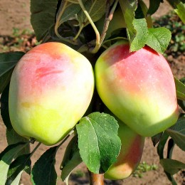 Mar Kandil Sinap - Pomi fructiferi - AgroDenmar.ro