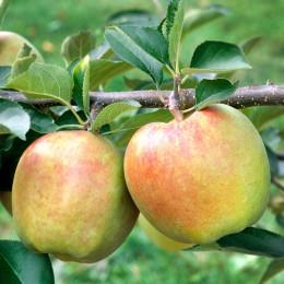 Mar Mutsu - Pomi fructiferi - AgroDenmar.ro