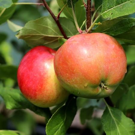 Mar Pinova - Pomi fructiferi - AgroDenmar.ro