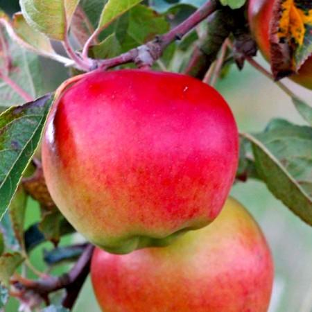 Mar Prima - Pomi fructiferi - AgroDenmar.ro