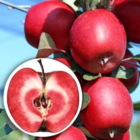 Mar Redlove Circe - Pomi fructiferi - AgroDenmar.ro