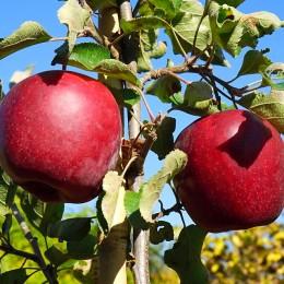 Mar Royal Gala - Pomi fructiferi - AgroDenmar.ro