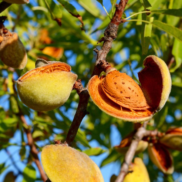 Migdal (Amygdalus communis) - Pomi fructiferi - AgroDenmar.ro